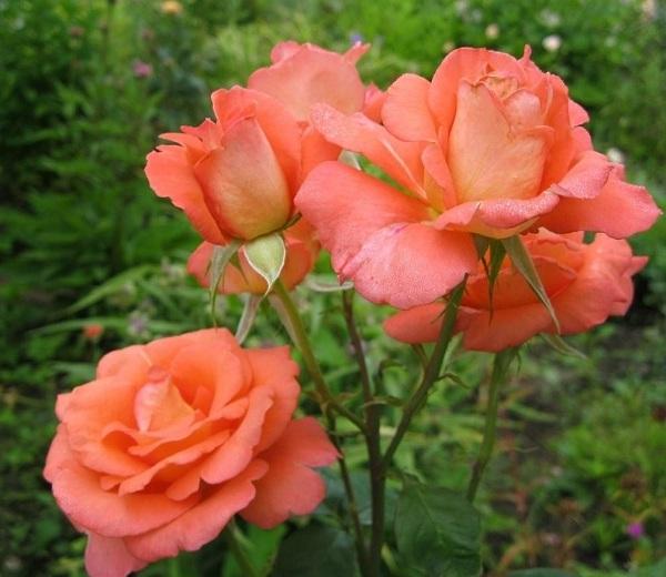 На фото – оранжевые розы
