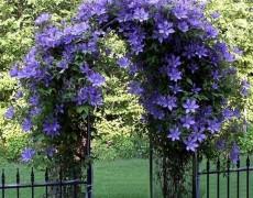 Вьющиеся растения в дизайне сада: подборка по цветам