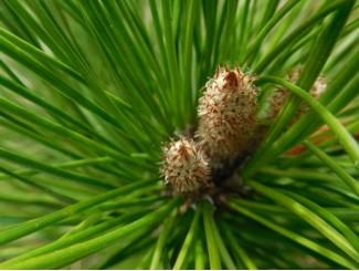 Главные правила прищипывания хвойных растений
