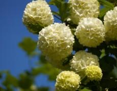 Бульденеж в саду: как сажать и ухаживать