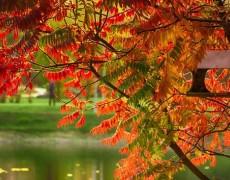 Сумах – идеи размещения в саду