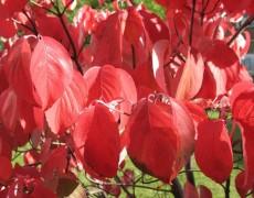 6 кустарников, которые сохранят яркость сада осенью
