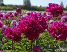 Пионы в саду: какие сорта выбрать и как за ними ухаживать