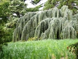 Плакучая форма кроны – 8 красивейших лиственных деревьев