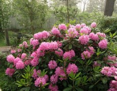 7 кустарников для сада, цветущих с лета по осень