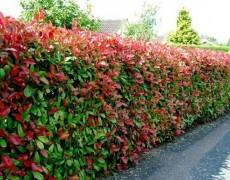 Какие растения выбрать для живой изгороди