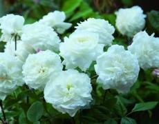 Хорошие советы для правильной посадки роз