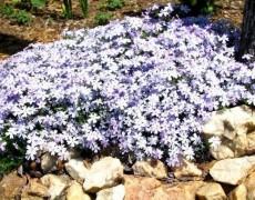 5 неприхотливых многолетних растений
