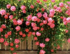 Плетистые розы: как за ними ухаживать?