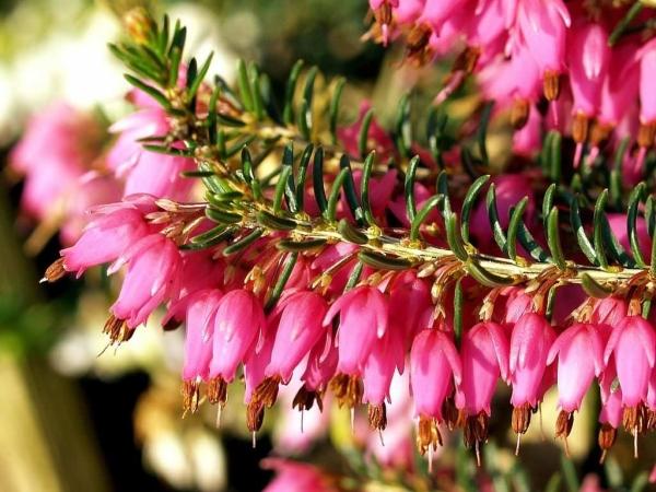 Цветет эрика