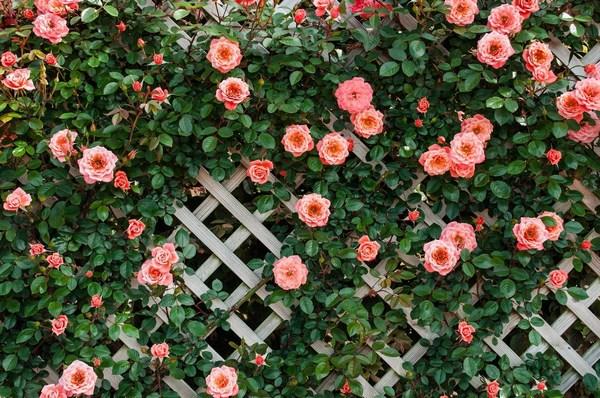 Розы на садовой решетке