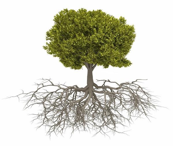 Размеры корневой системы взрослого дерева