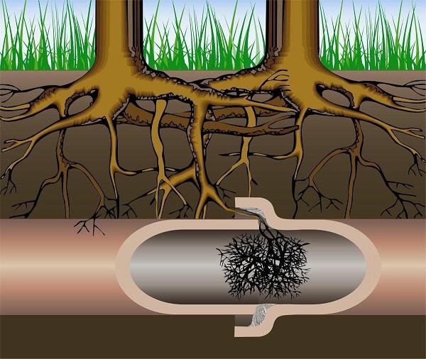 Тонкие корни могут разрастись в протекающих трубах и засорить их