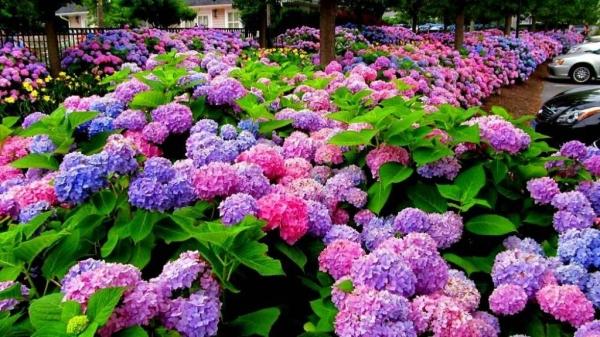 Цветущие гортензии