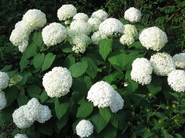 Белые цветы Annabelle
