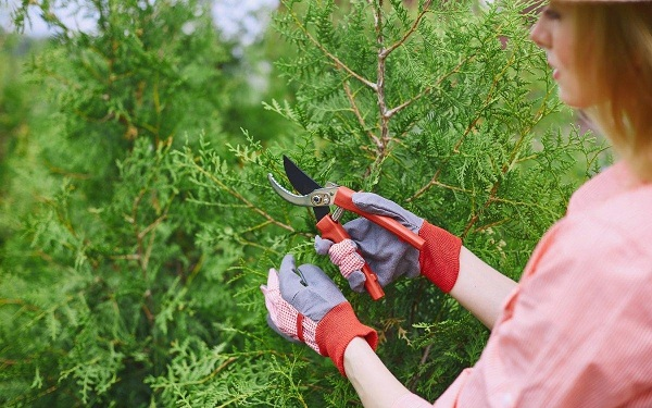 Чистка хвойных растений