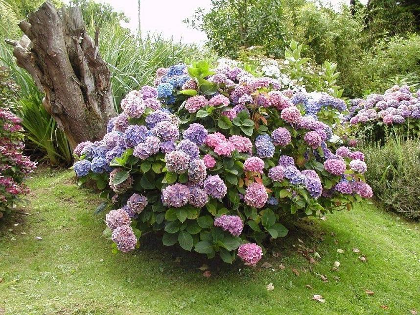 Использование гортензии в оформлении сада
