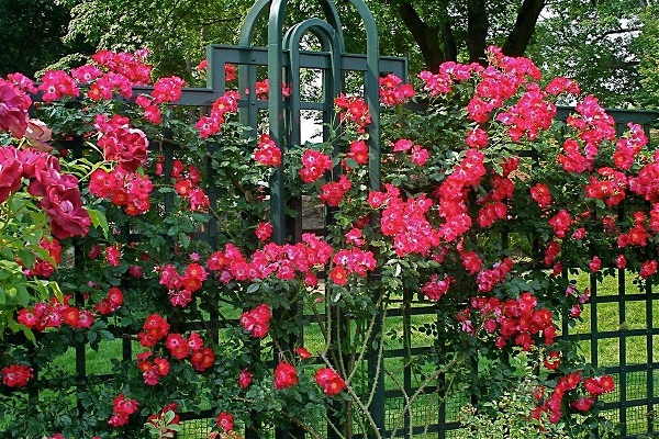 Закрепление розы на решетке
