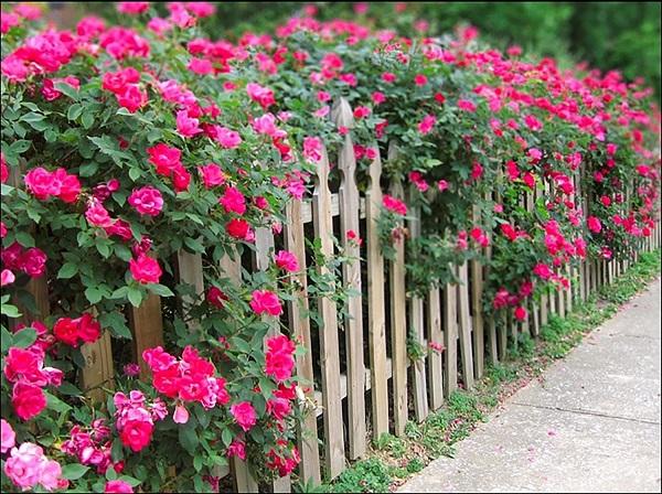 Украшение забора вьющимися розами